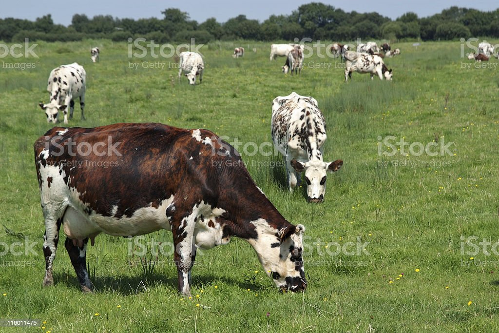 A picture of a field of cows eating grass stock photo