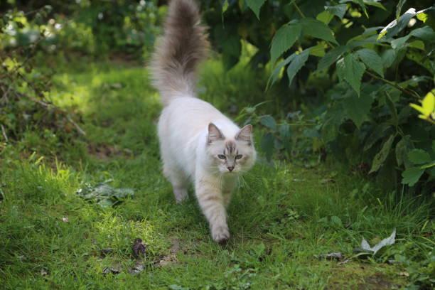 Picture of a nevsky masquerade cat in a garden picture id1201293079?b=1&k=6&m=1201293079&s=612x612&w=0&h=ps5h63use33gqsajpvypus b6xx4etey4n  df0mtxe=