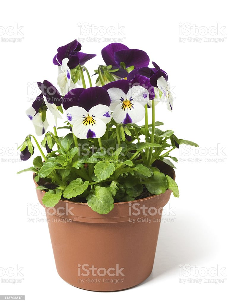 A picture of a pansy in a flower pot stock photo
