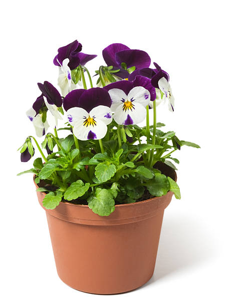 A picture of a pansy in a flower pot Flower pot with  pansies on white background pansy stock pictures, royalty-free photos & images