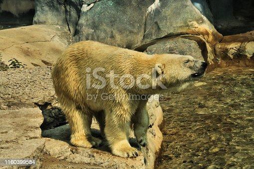 A picture of a Polar Bear