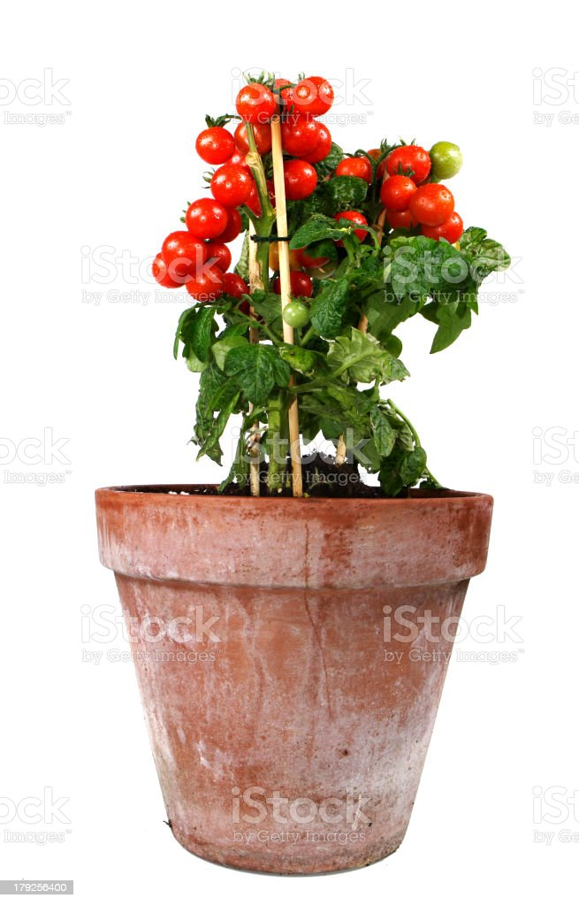 A picture of a potted plant of very red tomatoes stock photo