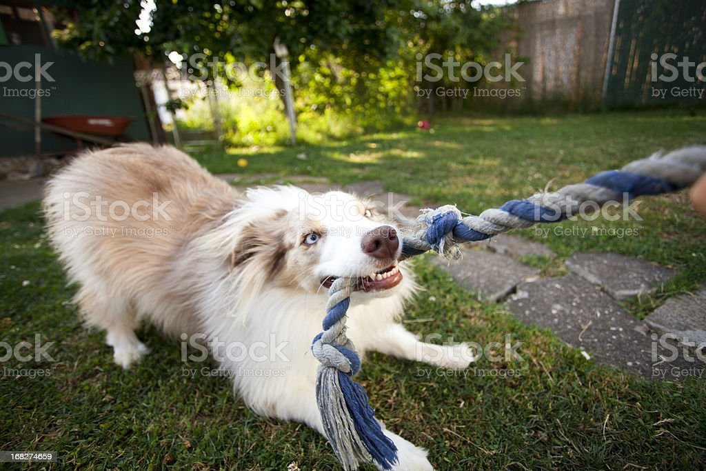 Picture of a puppy tugging on a rope stock photo