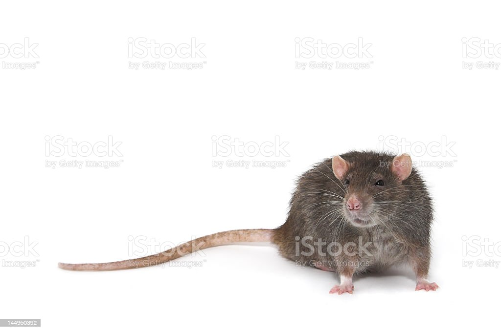 A picture of a rat on a white background stock photo