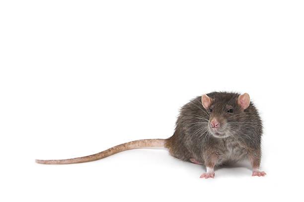 Le rat - Photo