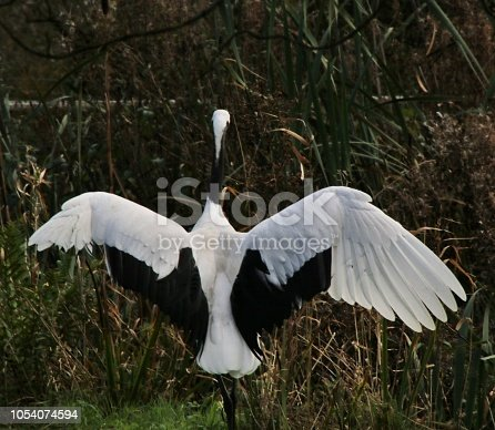 A picture of a Red Crowned Crane
