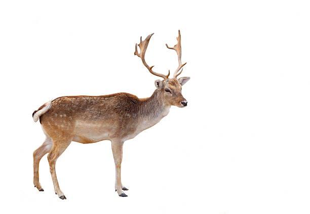 a picture of a reindeer looking ahead - rendier stockfoto's en -beelden