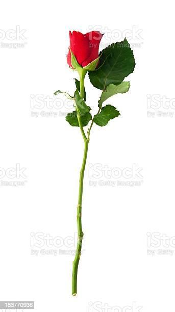 Picture of a single red longstemmed rose picture id183770936?b=1&k=6&m=183770936&s=612x612&h=kjjij2w0ufcxojrfwbfwwx4vrf22hmxi12vfynwvihm=