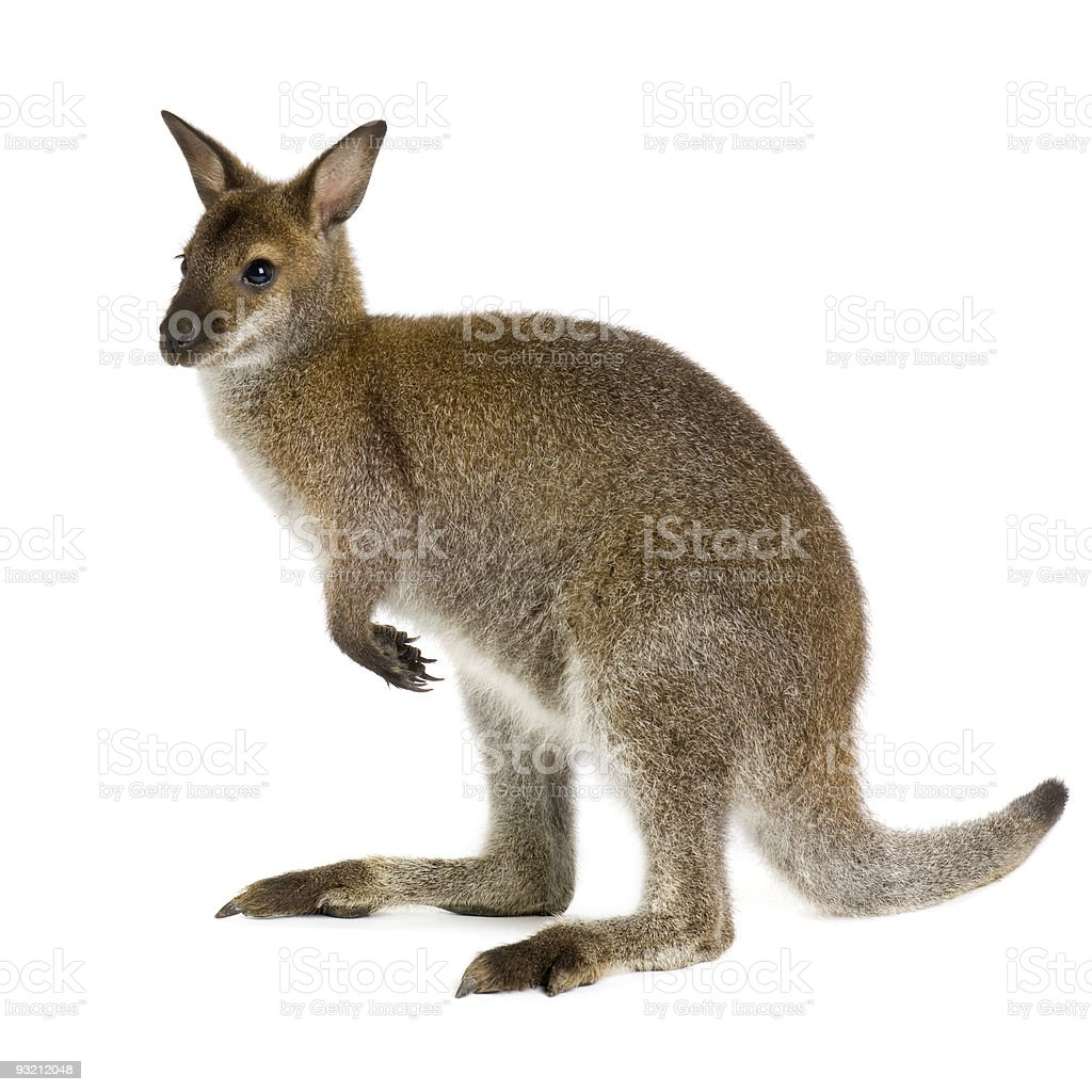 Picture of a small wallaby standing upright royalty-free stock photo