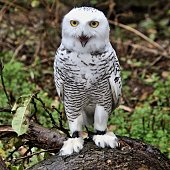 A picture of a Snowy Owl