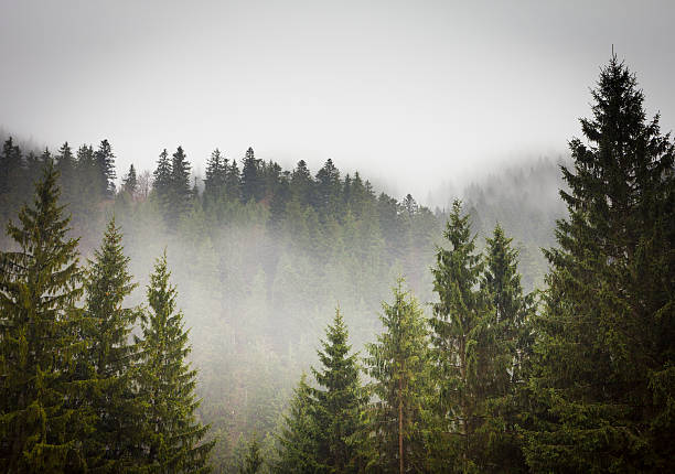 picture of a spruce forest on a cold foggy day - trees in mist stock pictures, royalty-free photos & images