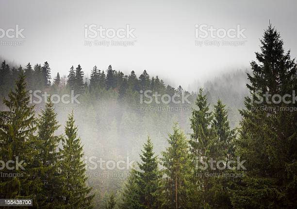 Photo of Picture of a spruce forest on a cold foggy day