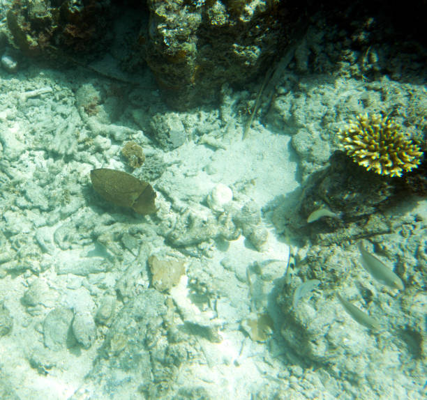 Picture of a squid in the sea of Togian islands Picture of a squid in the sea of Togian islands, Indonesia bobtail squid stock pictures, royalty-free photos & images