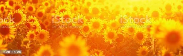 Picture of a sunflower field in evening backlight picture id1085114286?b=1&k=6&m=1085114286&s=612x612&h=ral8mnqttu54loisfprt8mwo pkz0j5rl5yy6 rwpqg=