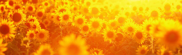 picture of a sunflower field in evening backlight - sunflower zdjęcia i obrazy z banku zdjęć