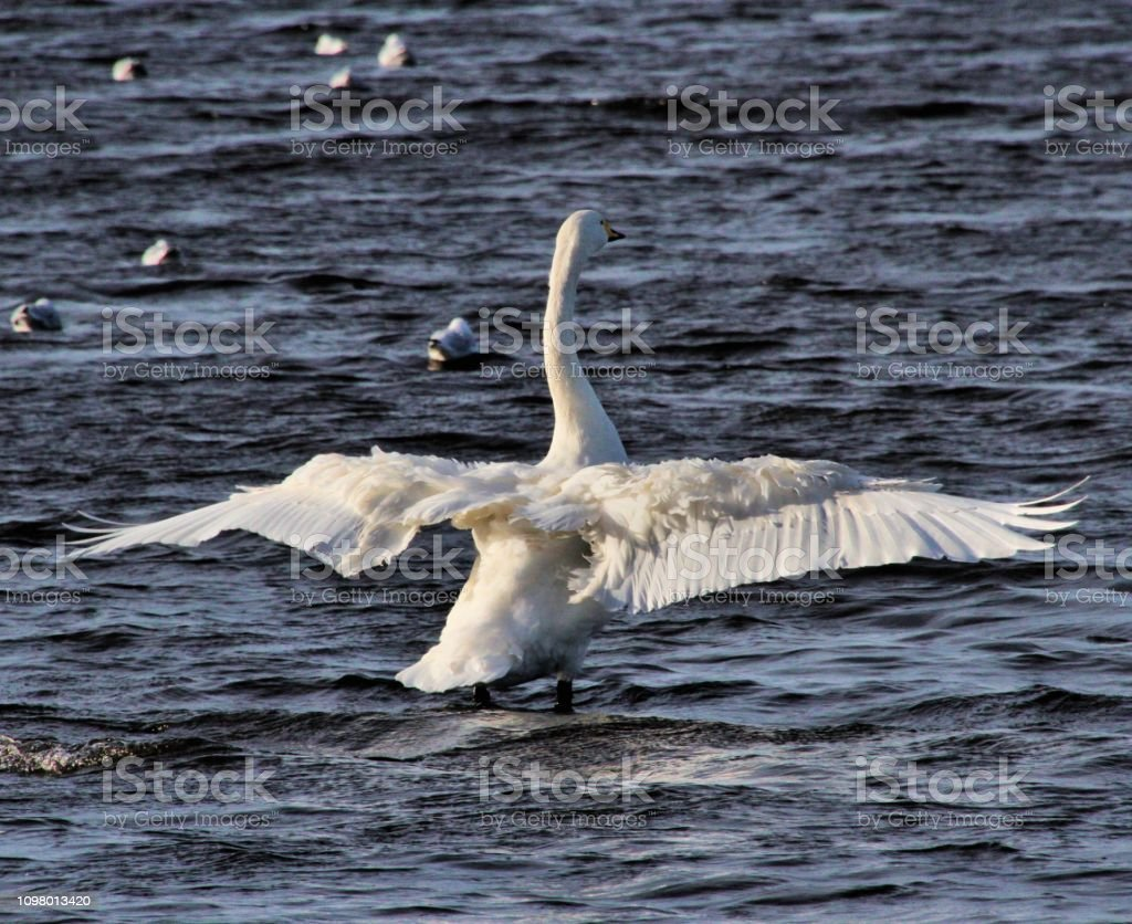 A picture of a Whooper Swan flapping its wings