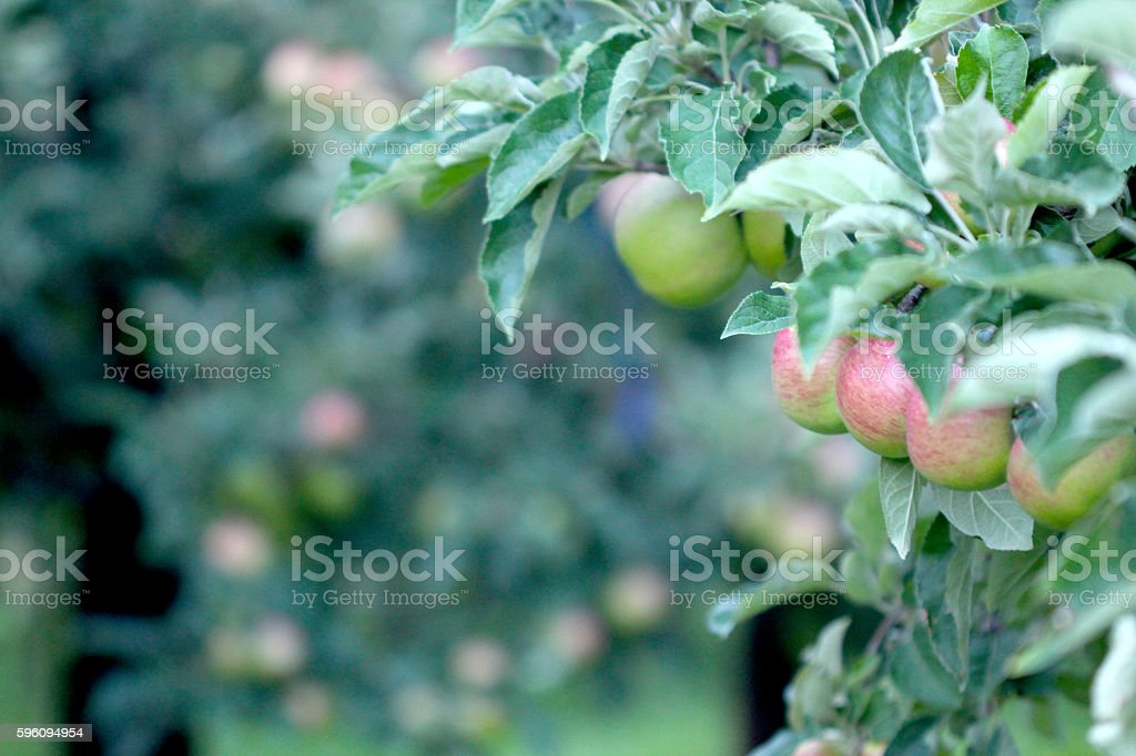 Picture of an Apple Orchard Lizenzfreies stock-foto