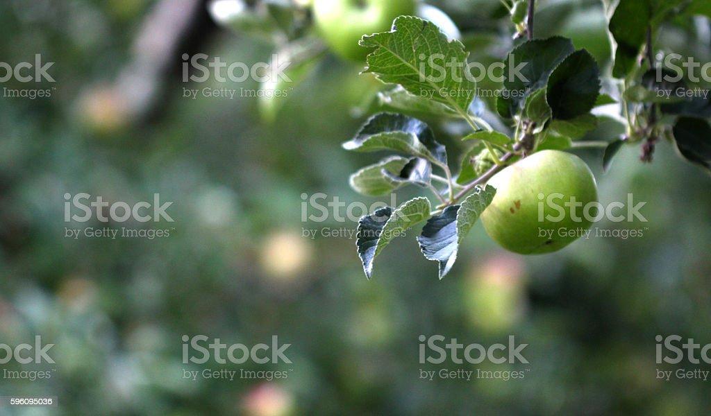 Picture of an Apple Orchard Lizenzfreies stock-foto