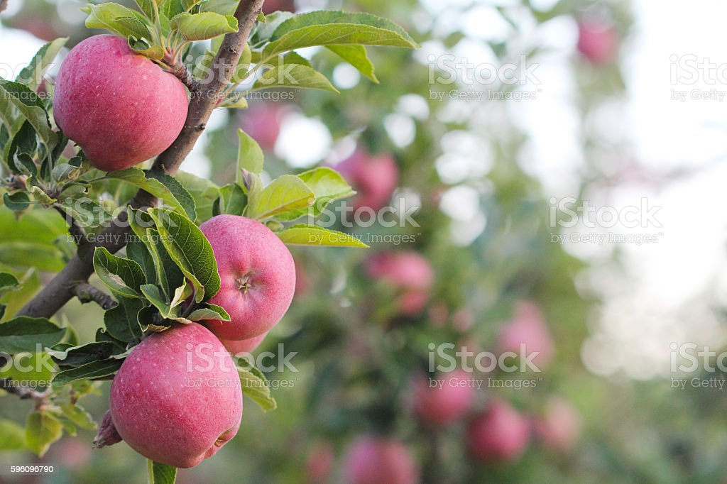 Picture of an Apple Orchard royalty-free stock photo