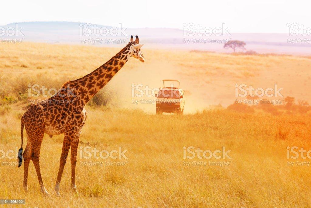 Picture of beautiful giraffe at sunset, Africa stock photo