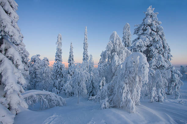 Picture of deep snow wood at beautiful sunset during winter Blue colors hoar and snow covered frozen forest nicely contrasts with sunny horizon and light blue sky.  Tranquil mood scenic image. taiga stock pictures, royalty-free photos & images