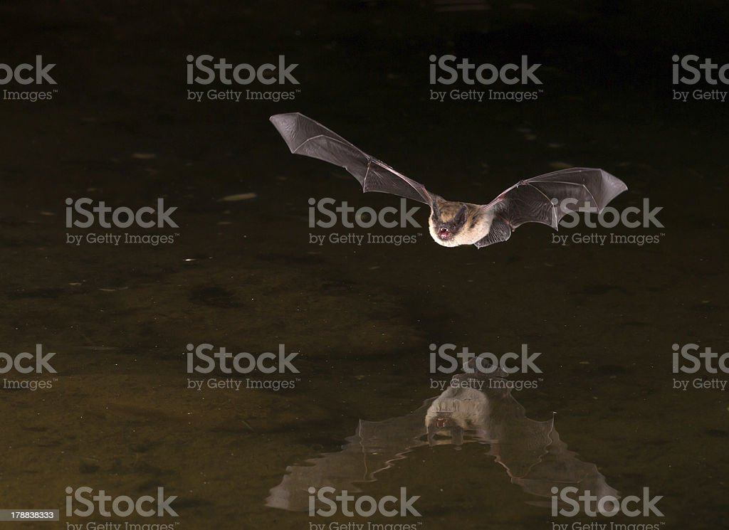 Picture of flying bat in the dark Flying bat at night using flash drinking from pond. Animal Wildlife Stock Photo