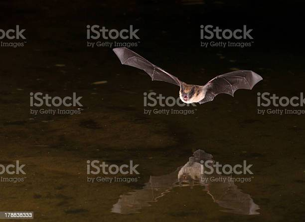Picture Of Flying Bat In The Dark Stock Photo - Download Image Now