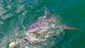 Picture of great white shark on water surface