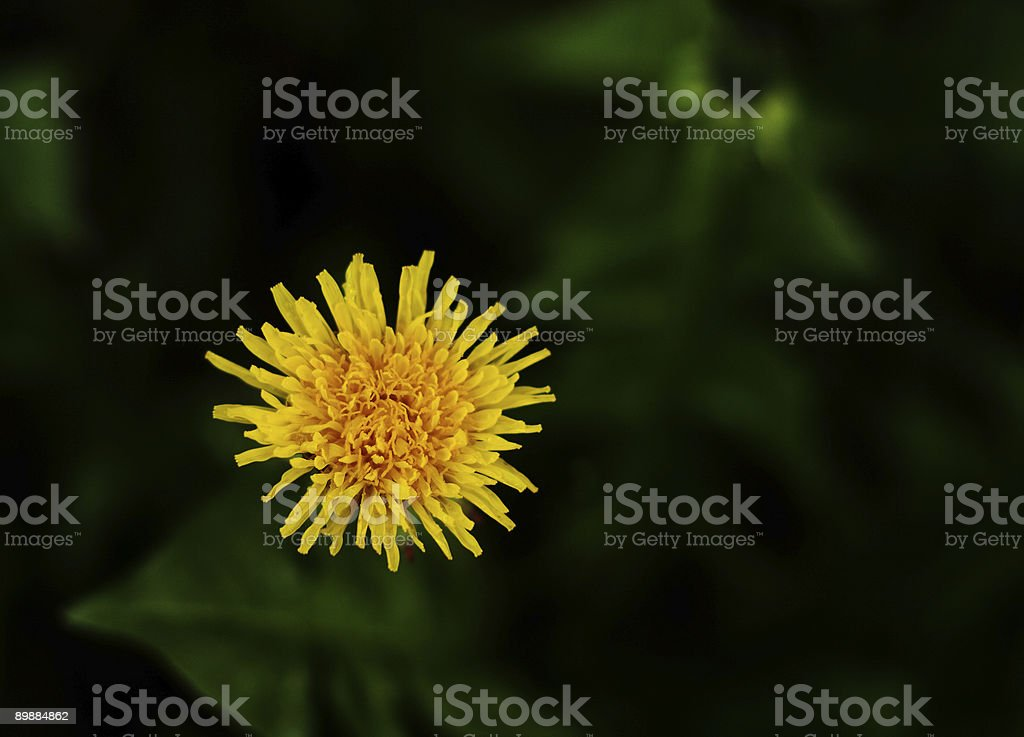 picture of one dandelion with nice green background royalty-free stock photo