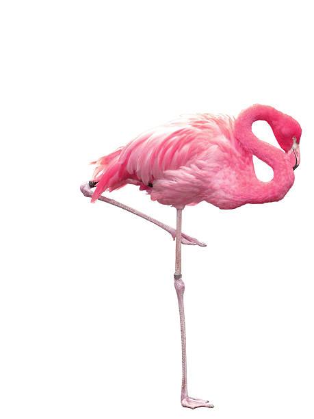 Flamingo - Photo