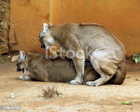 Picture Of Pumas In Captivity Mating Stock Photo More Pictures Of