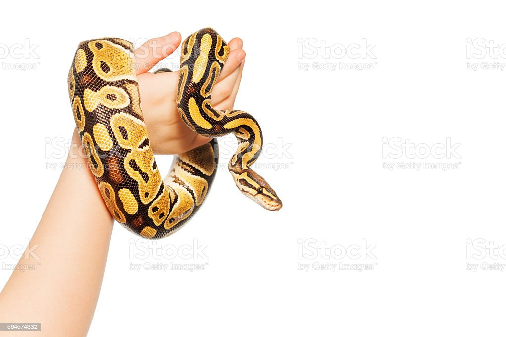 Picture of Royal or Ball python on kid's hand stock photo