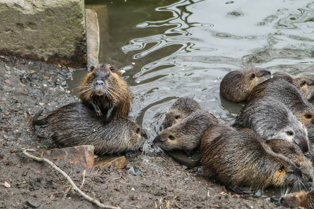 a picture of the coypus in prague in czech republic. they live in water in the city and they are a problem for the ekosystem. - introduced species stock pictures, royalty-free photos & images