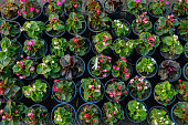 picture of various begonia flowers in flower pot.
