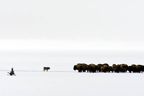 Picture of wolves chasing bison stock photo