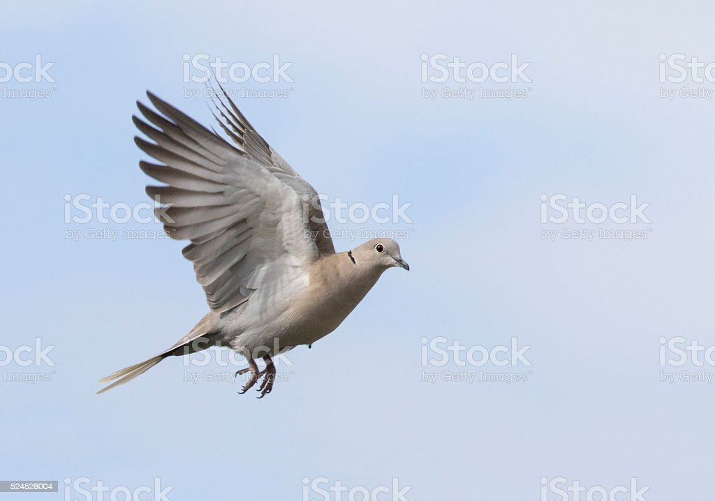 picture of wood collared dove in flight stock photo