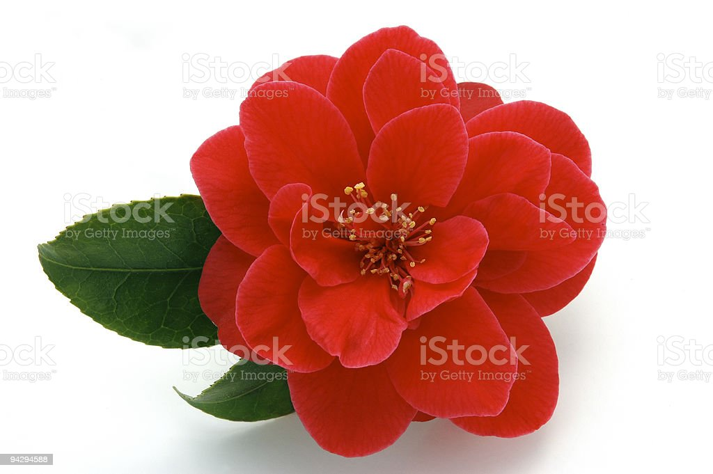 Picture Perfect Camellia stock photo