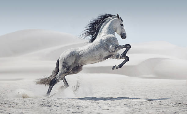picture presenting the galloping white horse - wildlife stock photos and pictures