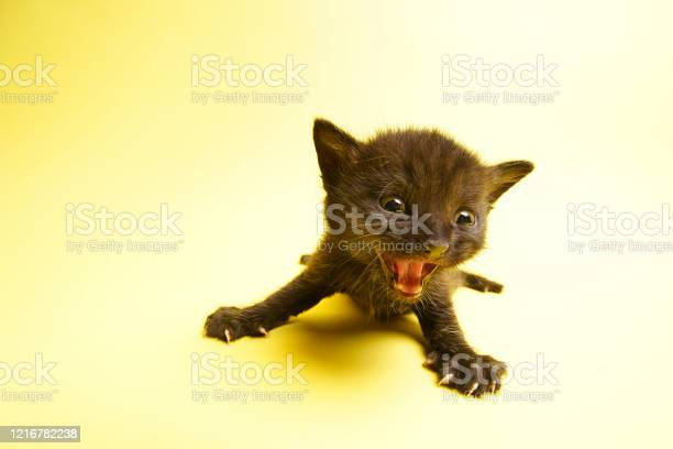 Pictured is a black kitten crying looking for a mother yellow wide picture id1216782238?b=1&k=6&m=1216782238&s=612x612&h=qlhtobxounyizr 63egafoajizmb3rknjgoymr2gh1o=