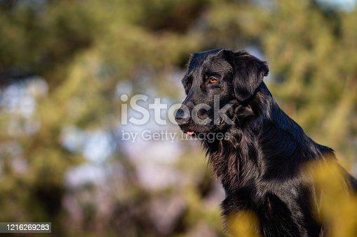 istock Pictures of a black Flat-Coated Retriever at a Portrait Photo Shooting 1216269283