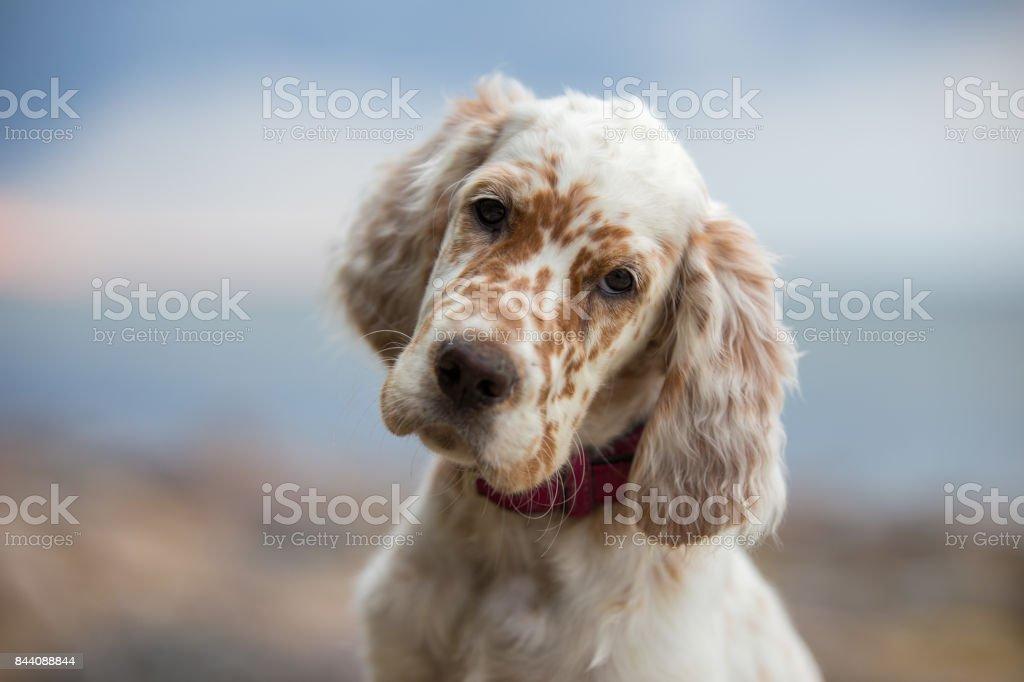 Fotos de cachorros de Setter inglés. - foto de stock