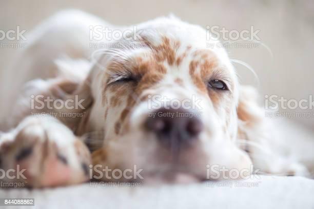 Pictures of english setter puppies picture id844088862?b=1&k=6&m=844088862&s=612x612&h=olnuiajooq va6  f2aosbxduayhyswqbvddphvilqk=