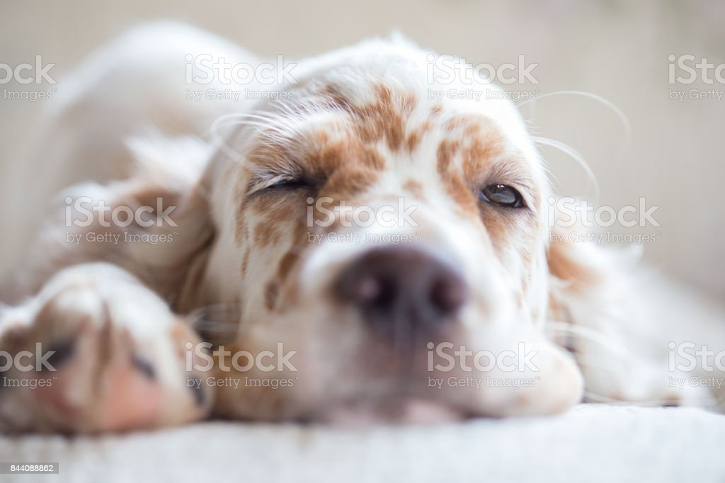 Pictures of English Setter puppies. stock photo