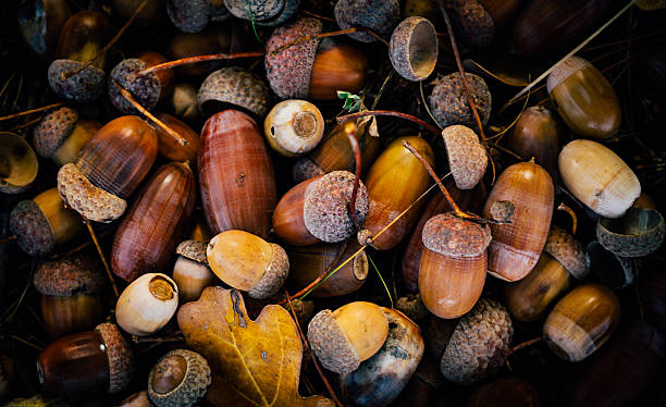 Picturesque autumn acorns. Forest gift stock photo