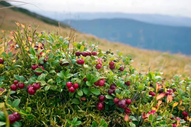 cubierta otoño pintoresco en las montañas - arándano rojo fruta baya fotografías e imágenes de stock