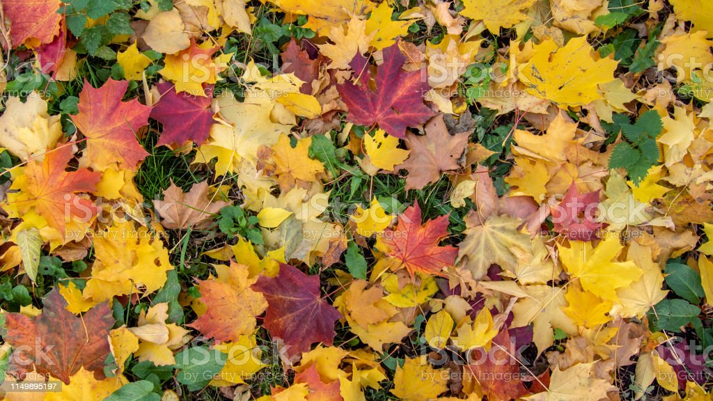 Picturesque autumn maple leaves of red, yellow, orange, burgundy...