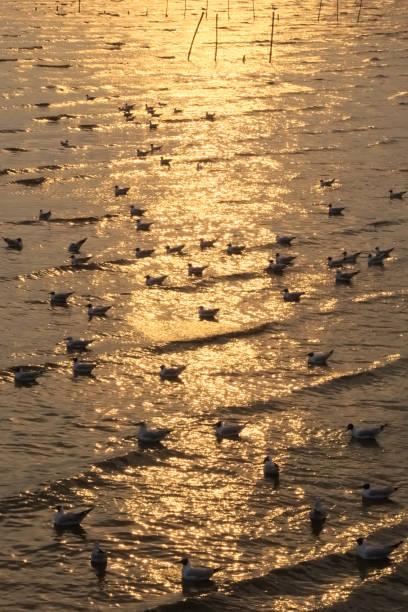 Eine malerische goldene Sonnenuntergang auf einem Flussdelta, gefüllt mit einer Schwimmbad-Herde von Thai Möwen. – Foto