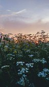 picturesque flowering field at dawn. gentle color of the sky and many many flowers