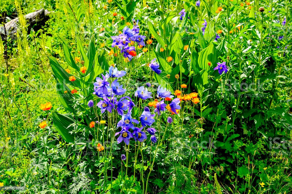 Picturesque floral summer background - blossoming alpine meadow with colorful wild flowers close up