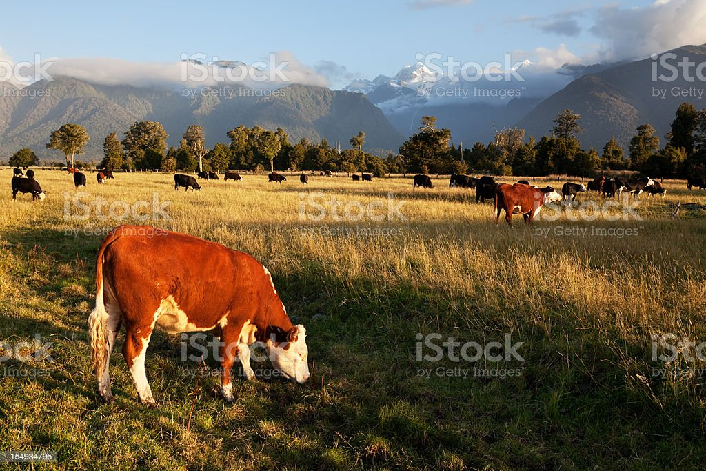 Picturesque Landscape with Cattle in New Zealand stock photo
